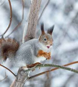 what do squirrels eat in the winter